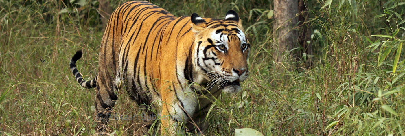 Nature-Wildlife-Tiger-Harmony-470