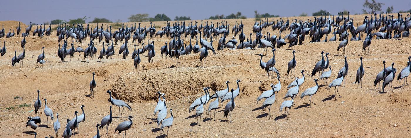Wildlife-Demoiselle-Cranes-470