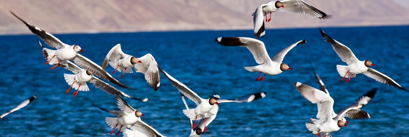 Wildlife-Pangong-Lake-Terns-Ladakh-India-470