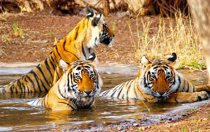 tiger sifari india