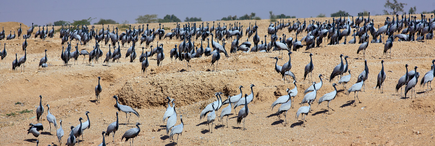 Wildlife-Demoiselle-Cranes-470