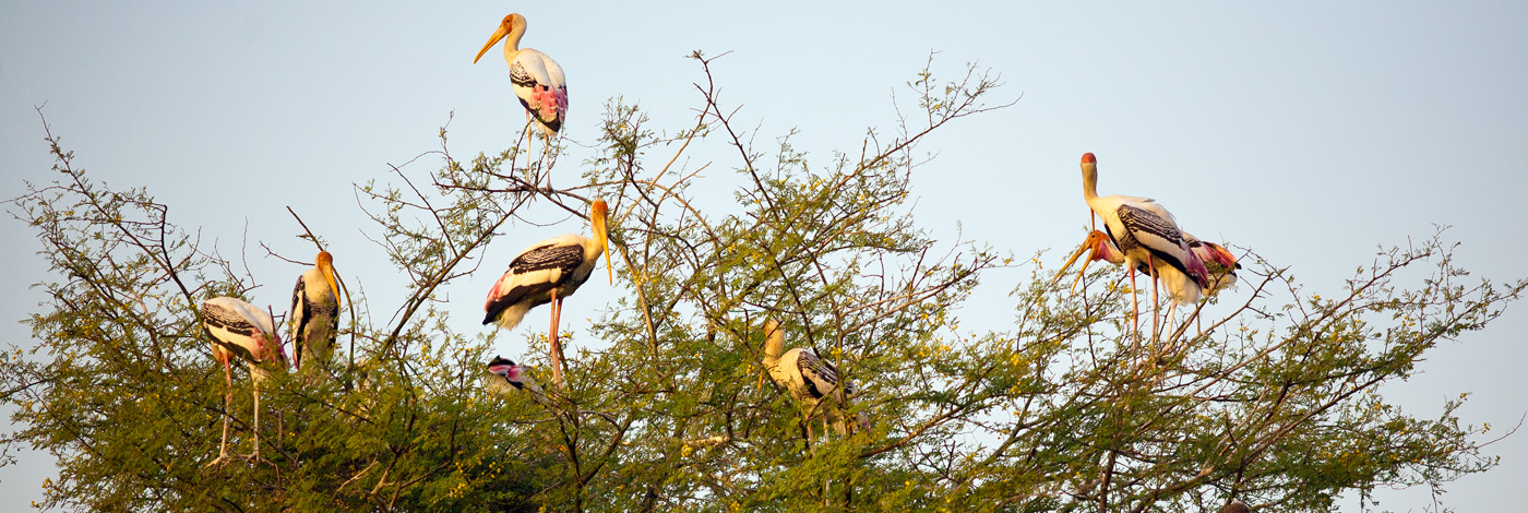 Wildlife-India-Forests-Painted-Storks-Bharatpur-470